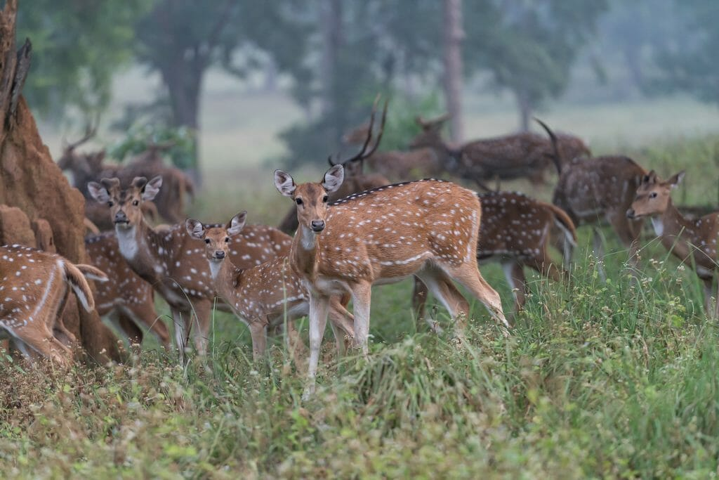 Group of 30+ Indian Spotted Deer in a foggy forest in Kanha National Park